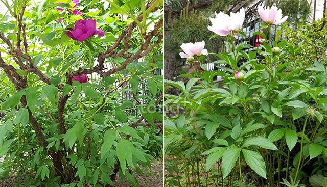 牡丹と芍薬の違い